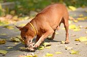 picture of miniature pinscher  - Miniature Pinscher eat meat in the park - JPG