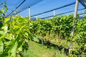 image of hail  - Vineyard with modern system for irrigation and nets against hail.