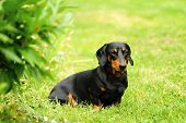 A Small Black Dachshund