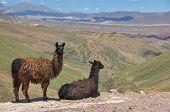 Lamas Starring At Beautiful Landscape Of Bolivia