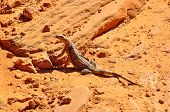 Lizard In Vally Of Fire Provincial Park, Nevada, Usa