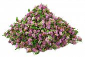Big pile of clover flower bud