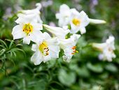 stock photo of easter lily  - White Easter Lily flowers in a garden - JPG