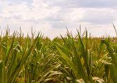 Corn Farm Against Overcast Sky