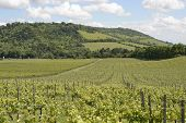 North Downs And Vineyard. Surrey. England