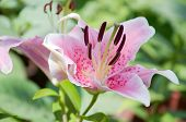 picture of day-lilies  - A beautiful pink lily closeup summer