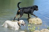 Rottweiler And Labrador