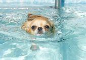 Swimming Chihuahua