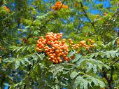 pic of mountain-ash  - Photo of branch of mountain red ash - JPG