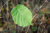 Last Green Hazel Leaf