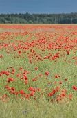 red poppies field in summer