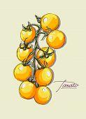 vector hand drawing set  tomatoes