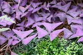 Closeup Of Leaves Of Oxalis Triangularis