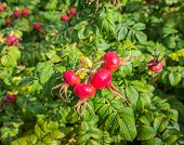 Red Rose Hips From Close