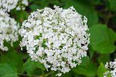 Bishop Flower