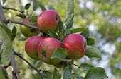 Red Apples Ripening On The Branch