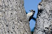 Downy Woodpecker Resting In The Fork Of A Tree