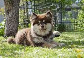 Puppy, Finnish lapphund on the lawn.