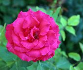 pic of puffy  - Beautiful park summer puffy Single  Rose with bud - JPG