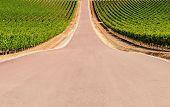 Road Crossing A Vineyard