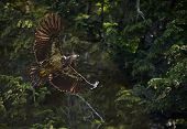 Bald Eagle in forest
