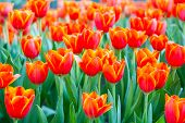 Orange tulips flower with Bouquet
