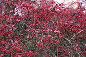 pic of barberry  - A branches of the ripe berries of barberry