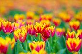 Orange tulips flower with Bouquet
