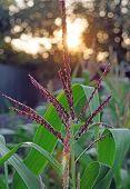 Blooming Corn Against The Setting Sun Closeup