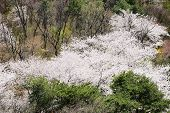 Full Blown Korean Cherry Blossoms In Nam-mountain In Seoul, Korea