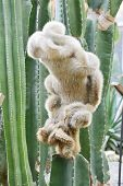 stock photo of mink  - cleistocactus hyalacanthus which is called mink cactus - JPG