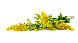 stock photo of goldenrod  - Flowering plant Canada goldenrod it is isolated on a white background - JPG