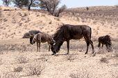 Wild (connochaetes Taurinus) Blue Wildebeest Gnu Grazing