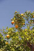 stock photo of tangerine-tree  - Orange trees with fresh fruits  - JPG