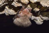 Pipistrellus (pipistrellus Pipistrellus) In Cave