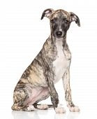 Whippet Puppy On White Background