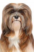 Lhasa Apso Dog Portrait