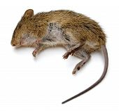 stock photo of dead mouse  - Dead rat isolated on a white background - JPG