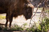 European bison (Bison bonasus)