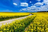 Countryside spring field landscape with yellow flowers - rape. Blue sky, rural way.