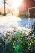 Sun shining over farm yard to frozen lingonberry twig
