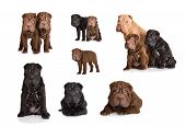 set of shar pei puppy photos