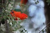 pic of king parrot  - Australian King Parrot  - JPG