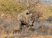 Africa Big Five: White Rhinoceros