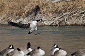 foto of canada goose  - Canada Goose Landing In a Winter River - JPG