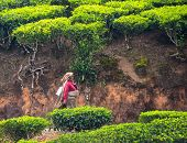 Munnar, India - February 18, 2013: An Unidentified Indian Woman Goes Through The Tea Plantation. Ind