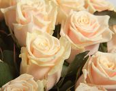 Cream roses background. close up
