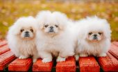 stock photo of puppy dog face  - Three White Puppies Pekingese Pekinese Peke Whelps Puppy Dog Sitting On Wooden Bench In Autumn Park - JPG