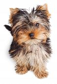 picture of yorkshire terrier  - Yorkshire Terrier puppy sitting 5 months old isolated on white background - JPG