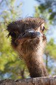 Surprised Ostrich